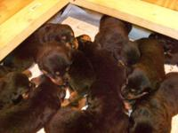akc german Rottweiler puppys 9 males parents on site