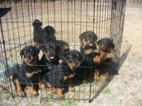 AKC GERMAN ROTTWEILER PUPS--$375-- 1 male left COME