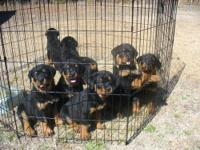 AKC REGISTERED GERMAN ROTTWEILER PUPPIES-$450 EA, 6