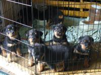 AKC REGISTERED GERMAN ROTTWEILER PUPS -- READY NOW $400