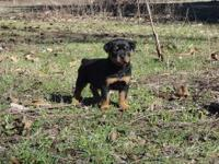 Extremely good trash of AKC German Rottweiler pups 6