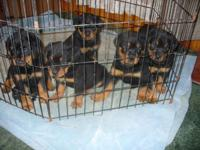 AKC ROTTWEILER PUPS--2M left --READY JUNE 13th--$450