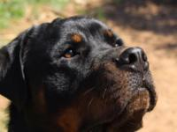 Two year old, well bred Rottie. Very sweet, loves