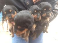 Now taking deposits on akc German Rottweiler new