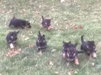 AKC registered German Shepard puppies for adoption.