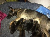 Akc registered German shepherd puppies for sale! Pics