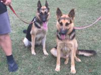 AKC German Shepard puppies . Black and Tan. Will be