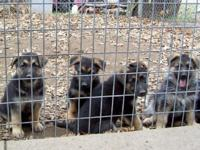 AKC reg. German Shepherd puppies, black and tan. Shots