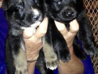 I have 2 Male and 6 Female German Shephard young