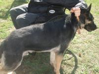Ihave a male german shephard name bo he is 15mths old