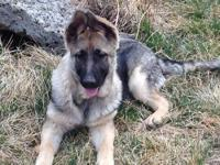 AKC GERMAN SHEPHERD (FEMALE) PUP: DOB 11/6/12. ** See