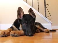 9 week old female pure german shepherd female lookin