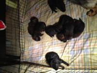 AKC German Shepard puppies available April 15th. We