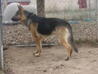 AKC German Shepherd male. Good watch dog. 2 1/2 years