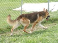 AKC male German Shepherd searching for an excellent