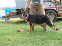 We have 2 AKC teens for sale. 1. Jenna - exceptional