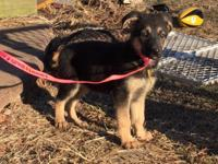 Female AKC German Shepherds 2 available Black/red
