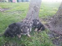 My mom has a litter of six AKC German Shepherd males