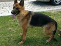 Hello,I have a red and black German shepherd male