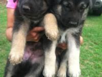 AKC XL GERMAN SHEPHERD .cute pup, taking deposit now