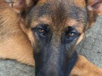 I have a stunning 6 month old male German shepherd. He
