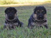 These pups were born August 23rd and are 3 weeks as of
