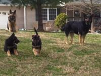 Gorgeous, Devoted, Safety, AKC GS puppies. Sable and
