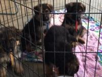 AKC BLACK & RED , 10 WEEKS OLD 3 FEMALE PUPPIES
