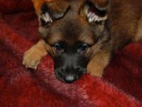 AKC German Shepherd Christmas Puppies. Red and black