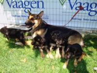 I am selling an adult female German Shepherd dog. She