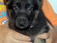 2 female German Shepherd Dog young puppies. They have