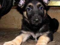We have some drop dead gorgeous puppies! A very few
