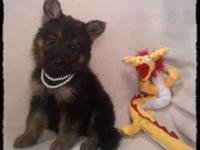 Wonderful AKC German Shepherd Dog puppies for sale to