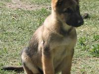 AKC German Shepherd Dogs, Males and Females Available,