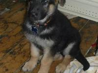 Female akc papered German shepherd For sale. Good with