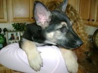AKC German Shepherd VET CHECKED, IST SHOT, DEWORMED,