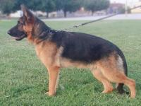 8 months old female with TRAINING for SALE! Superb