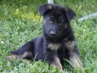 AKC German Shepherd female puppy just turned 8 weeks