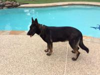 GORGEOUS AKC GERMAN SHEPHERD ADULT FULL CZECH