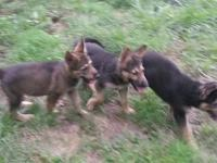 AKC registered black and tan female German Shepherd.