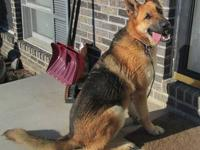 AKC German Shepherd female available. She is very