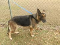 Wonderful female german shepherd with champion pedigree
