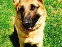 3 year old female AKC registered German Shepherd. She