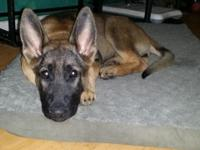 I have a 3 month old akc registered German Shepherd