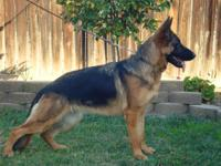 akc german shepherd female for sale great pedigree
