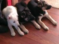 We have 2 female puppies left with full AKC Papers and