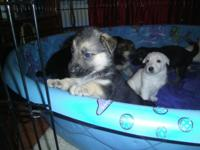 AKC GERMAN SHEPHERD PUPS Blk & & Tan Females Mom is