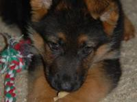 We have a new litter AKC German Shepherd young puppies,
