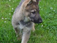 Isabella is a sable German Shepherd puppy and is ready