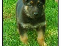Beautiful German Shepherd puppy. AKC Registration. Born